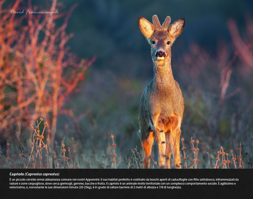 Mostra di David Francescangeli Gli Animali del Bosco Capriolo